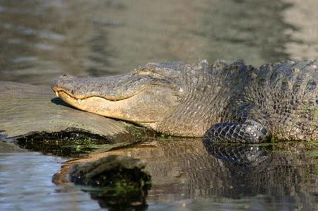 Grasa de caimán usada para hacer biocombustible líquido