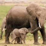 Elefantes bebés son secuestrados y enviados a zoológicos en China