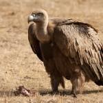 ¿Ausencia de las aves de carroña aumenta el nivel de CO2 en España?