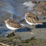 Aves marinas de San Francisco afectadas por agente pegajoso en el mar