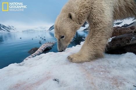 ¿Qué pasará a los osos polares con la reducción del hielo del Ártico?