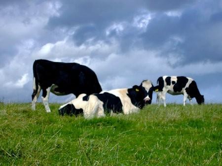 El futuro de los combustibles renovables podría hallarse en el estómago de una vaca