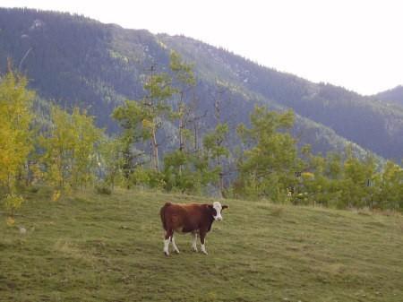 Científico canadiense transforma partes de vacas en plástico