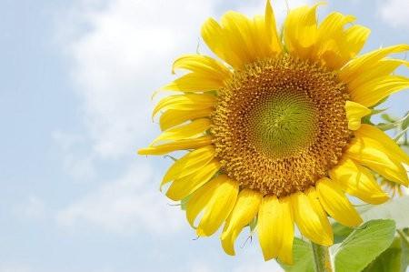 Las plantas solares serían más efectivas si copiaran a los girasoles