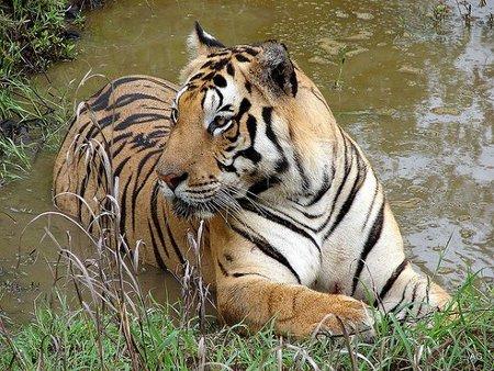 Cazadores furtivos de tigres pueden ser disparados en India