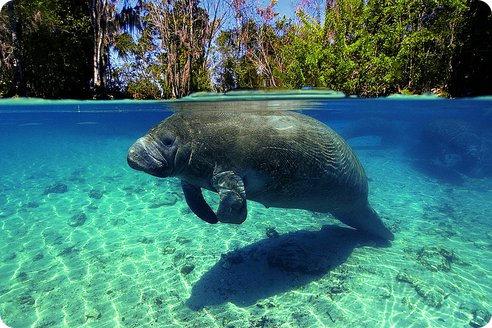 Récord de muerte de manatíes en Florida