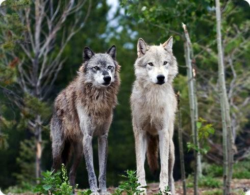 El impacto de los lobos en los ecosistemas