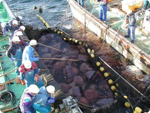 Cambio climático: malo para los pescadores, bueno para las meduzas