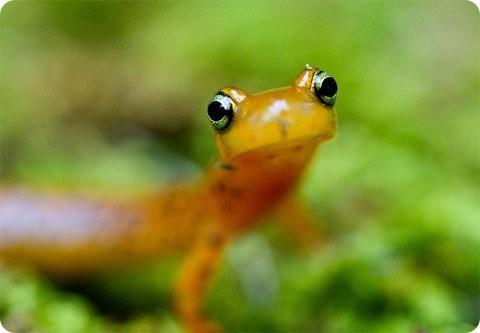 Salamandras: las defensoras de la ecología