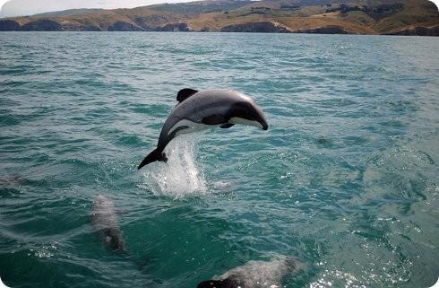 El delfín Maui está al borde de la extinción: solo quedan 55 ejemplares