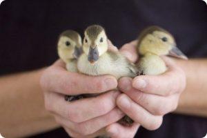 El pato más raro del mundo busca un nuevo hogar