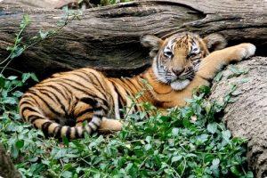 El ecoturismo podría ayudar a salvar a los tigres de Malasia