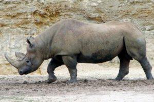 El rinoceronte negro es declarado extinto