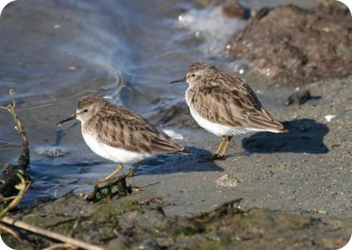 aves-marinas-de-san-francisco-afectadas-por-agente-pegajoso-en-el-mar