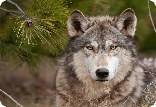 echo-la-loba-viajera-asesinada-por-un-cazador-de-coyote