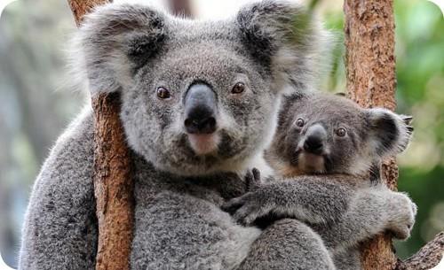 mala-gestion-del-gobierno-australiano-con-respecto-al-crecimiento-de-la-poblacion-de-koalas
