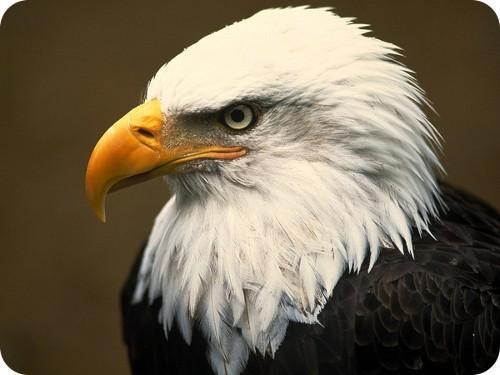 michigan-contiene-la-mayor-cantidad-de-águilas-calvas-contaminadas-en-el-mundo