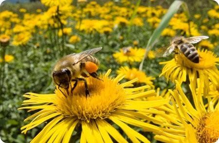 Colapso de Colonias por qué están muriendo las abejas