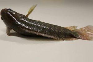 Conoce al pez que puede andar por la tierra, respirar fuera del agua y subir a los árboles
