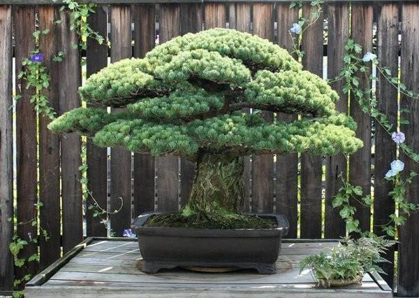 Este árbol de 390 años sobrevivió al bombardeo de Hiroshima