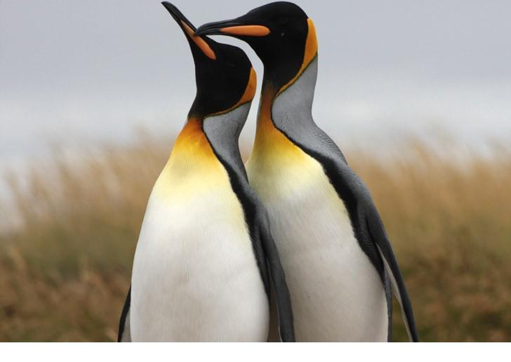 Especie Pingüinos Rey