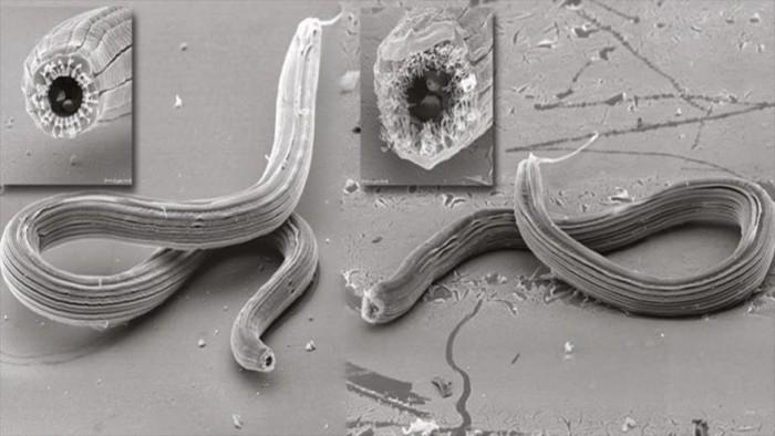 Pristionchus borbonicus: El gusano de cinco caras