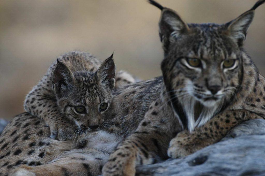 WWF esta decidida a apoyar al lince ibérico