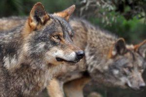 lobo en Cantabria