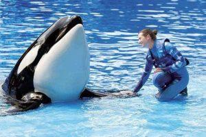 Anuncio esperanzador para las Orcas en cautiverio