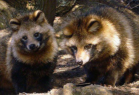 Suecia decidida por eliminar al perro mapache en su territorio