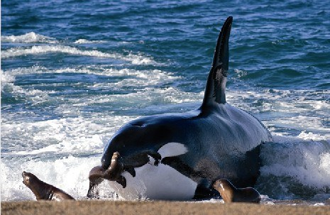 La evolución de las orcas gracias a la cultura