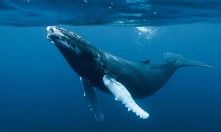 ballenas en el Atlántico Sur