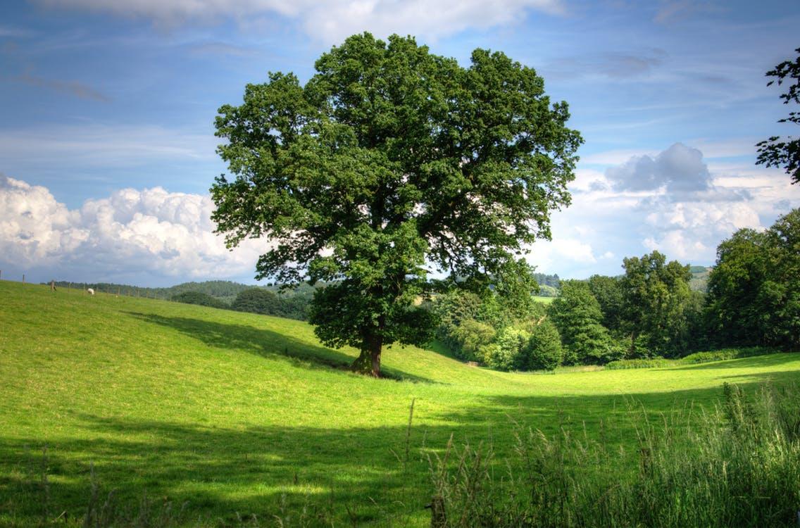 Un árbol en solitario se muestra imponente en la verde pradera