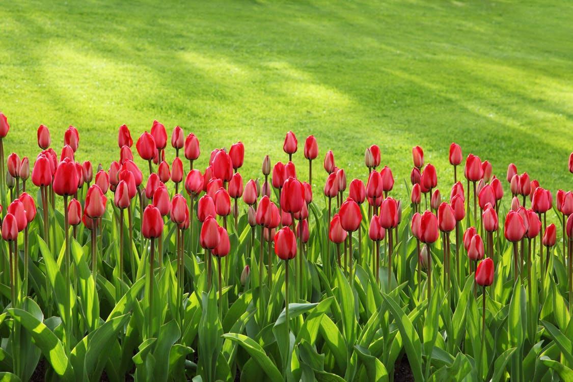Tulipanes rojos adornan esta hermoso paisaje