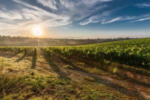 Verdes viñedos recibiendo los rayos del sol, gran paisaje para los amantes del vino