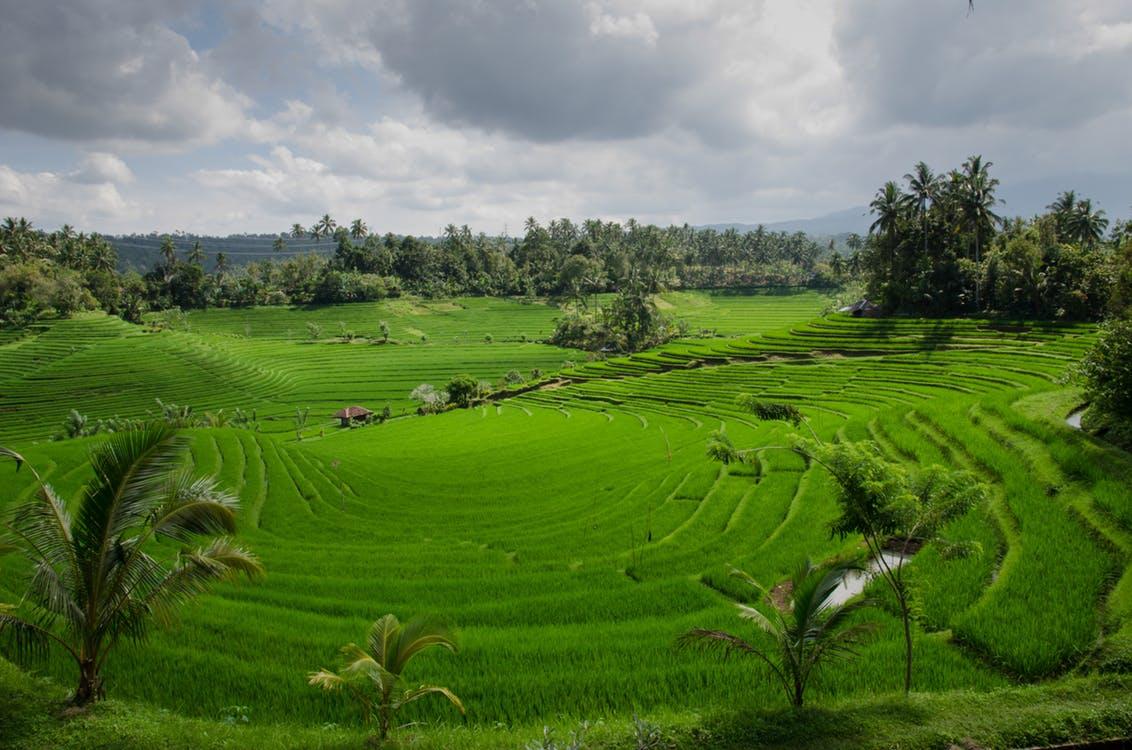 Foto de paisaje natural que muestra verdes plantaciones de arroz