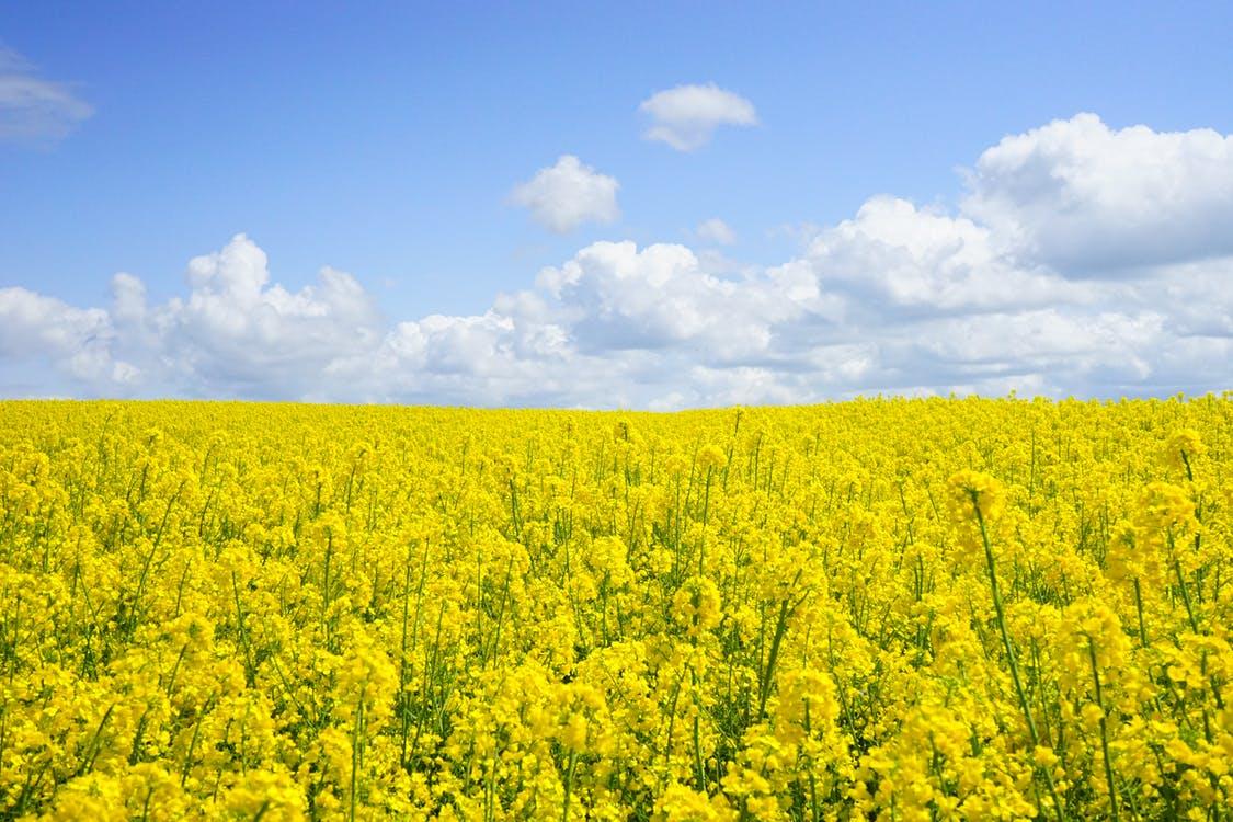 Cielo azul, paisaje hermoso natural que muestra flores amarillas en el suelo