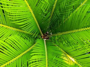 Perfectas y bellas hojas de palmera de un árbol tropical