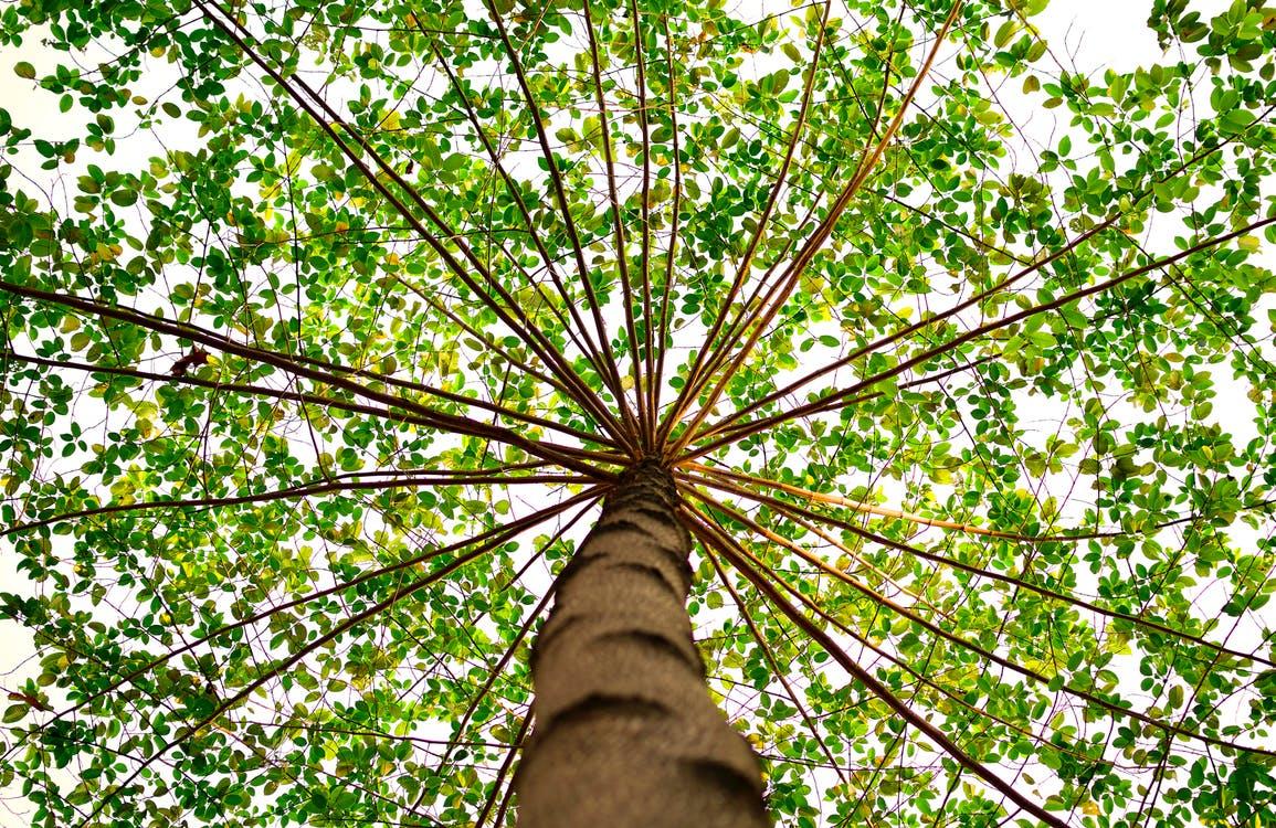 Toma fotográfica desde la base de un árbol que muestra todo su esplendor