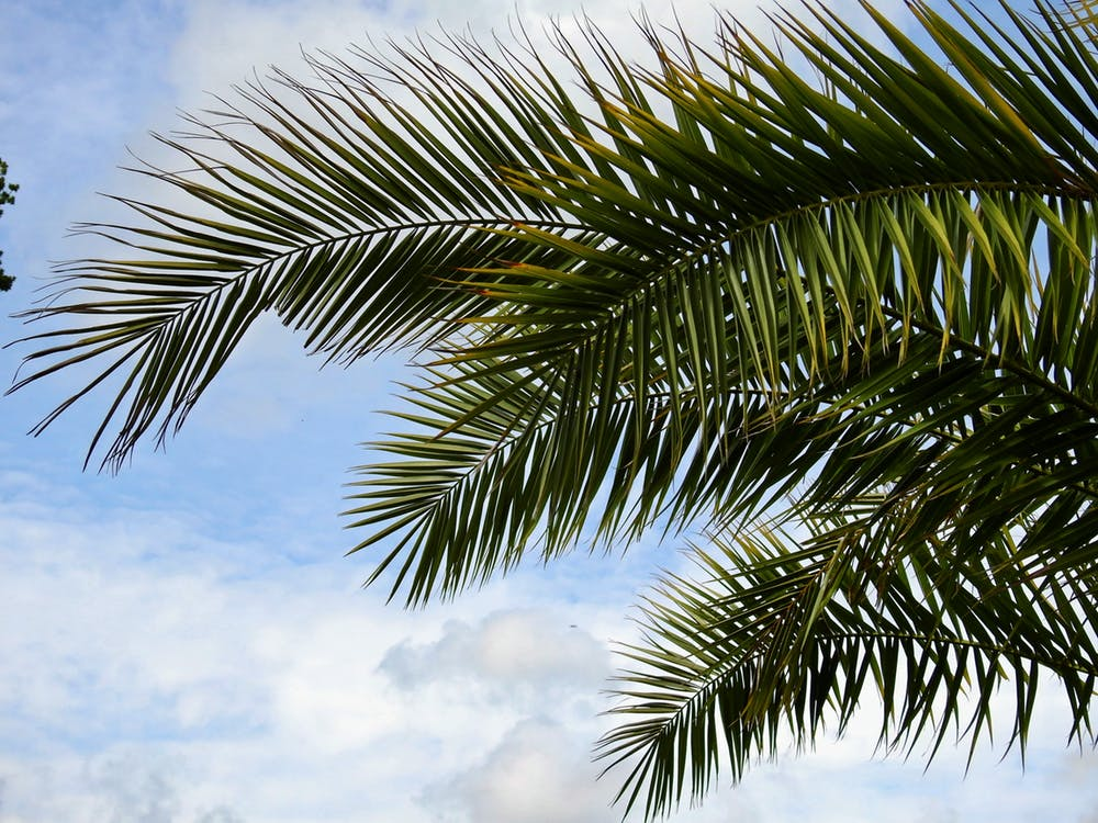 Las hojas de una palmera se mecen ante el viento, cielo nublado atrás
